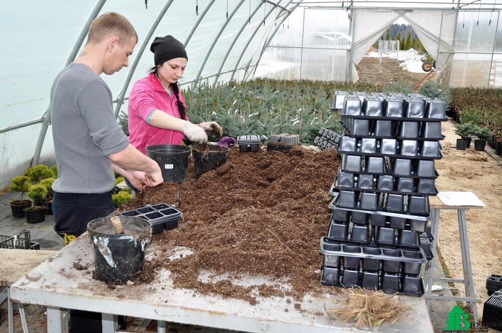 Выращивание рассады клубники фриго 27