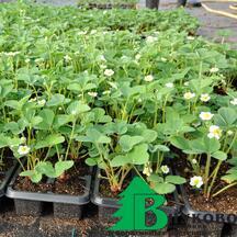 Вот такую рассаду клубники мы выращиваем для вас.