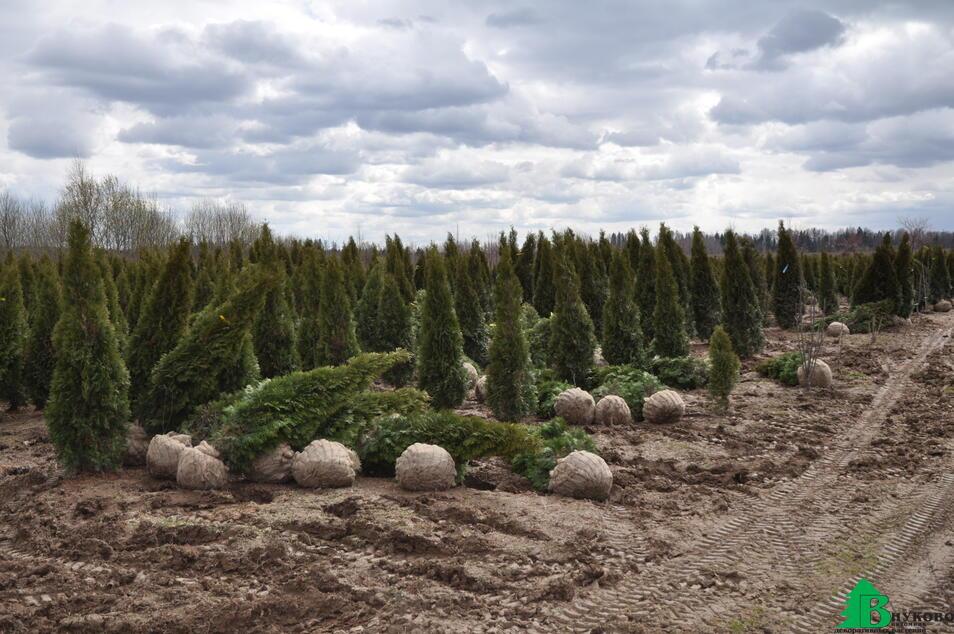 Ежегодно выращиваем в грунте более 200 000 туи Смарагд и Брабант размером от 1 до 4 метров.