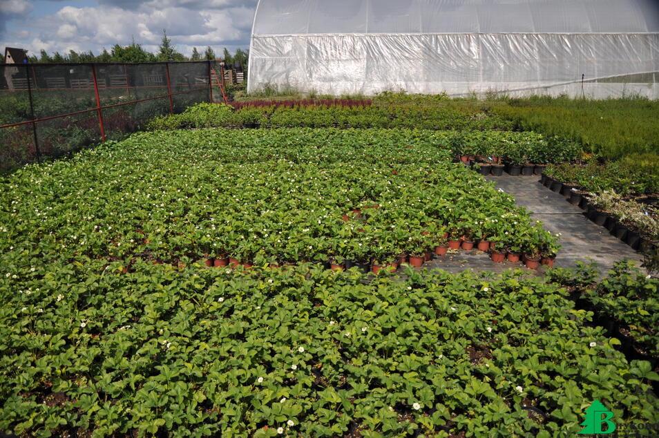 Каждый год выращиваем 50 000 штук садовой земляники самых лучших сортов