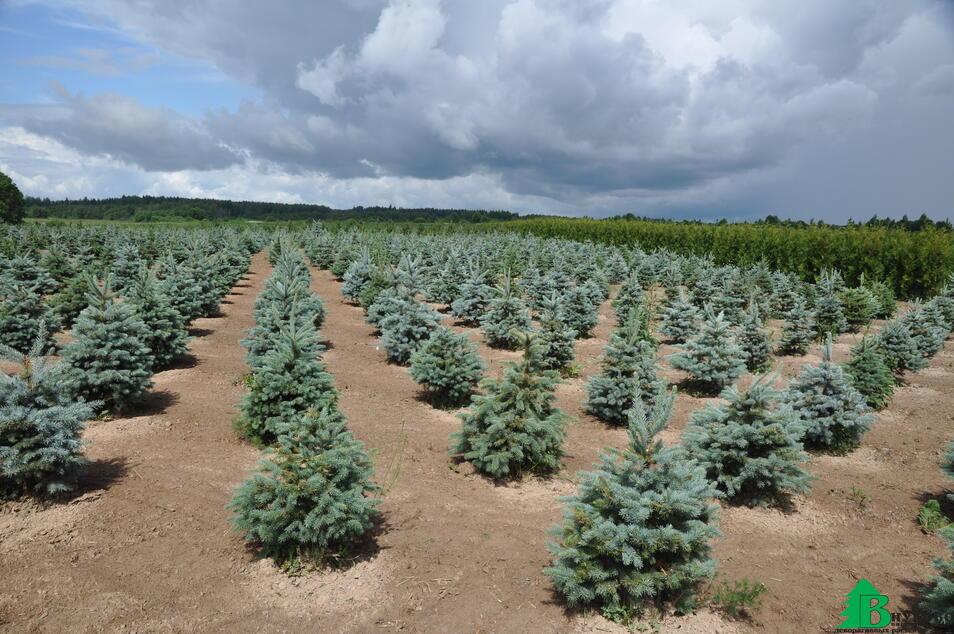 В грунте выращиваем более 10 000 голубых и зеленых елей