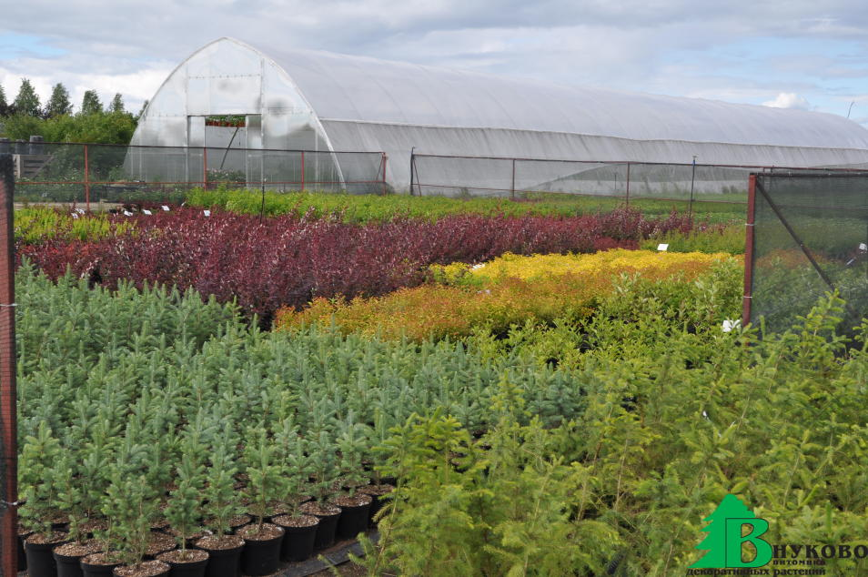 В контейнерах выращиваются как лиственные кустарники, так и хвойные растения