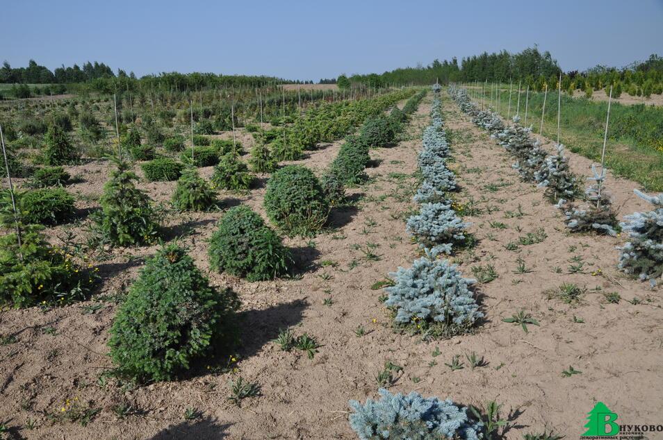 Сортовые хвойные растения в наших Подмосковных полях