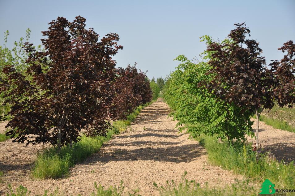 В грунте растут крупномерные клены, липы, дубы и многое другое