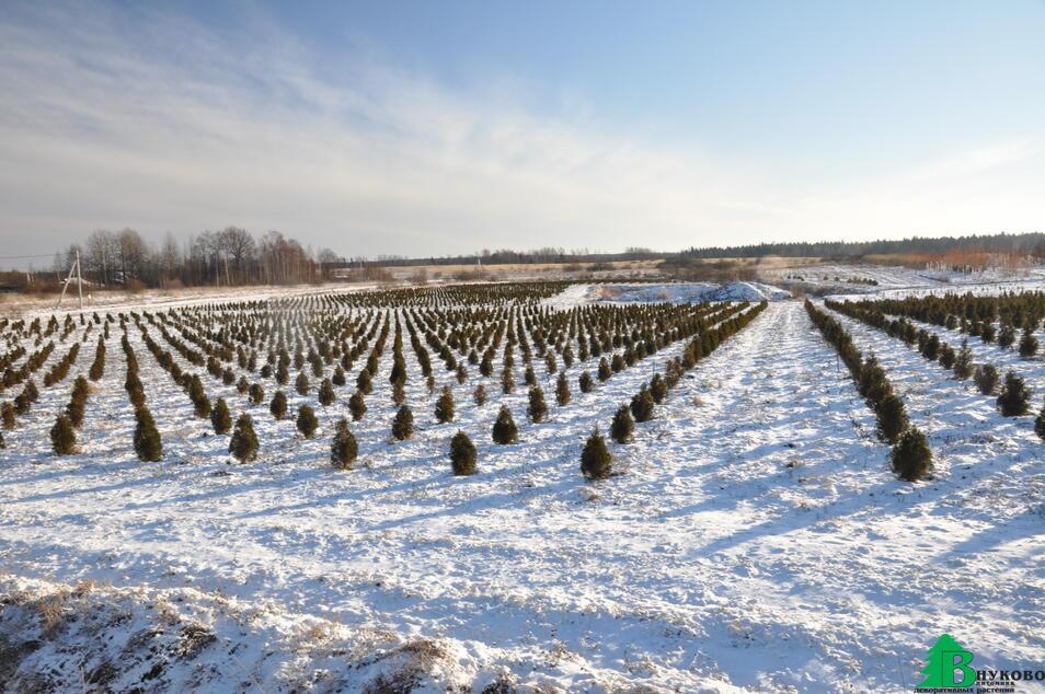 Зимние поля питомника- молодые туи.