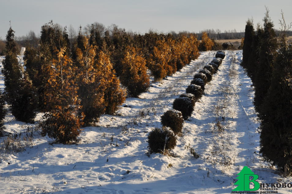 Туи различных видов и сортов зимой в питомнике Внуково