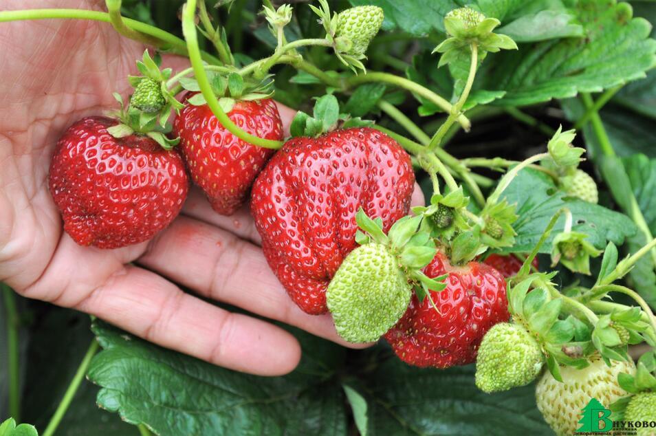 Вот такая ягода вырастает из рассады фриго первого года посадки. Посадите качественную рассаду клубники и богатый урожай не заставит себя ждать. Оптовые продажи рассады frigo из питомника Внуково.