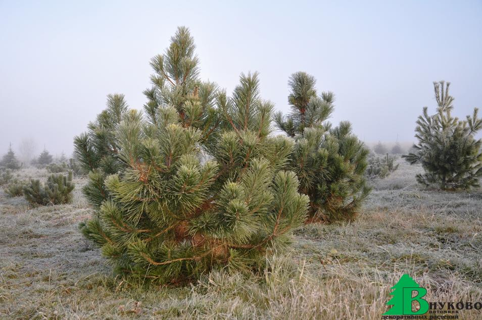 Сосна черная в полях Подмосковного питомника Внуково. Выращиваем декоративные растения- туя, ель, сосна и другое, на площади 55 гектар с 2004 года.