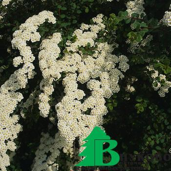 "Спирея ниппонская ""Вайт Карпет"" (Spiraea nipponica White Carpet)"