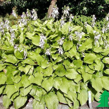 "Хоста гибридная ""Роял Стандарт"" (Hosta hybrida Royal Standard)"