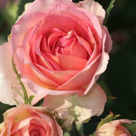 Роза фантазия мондиаль