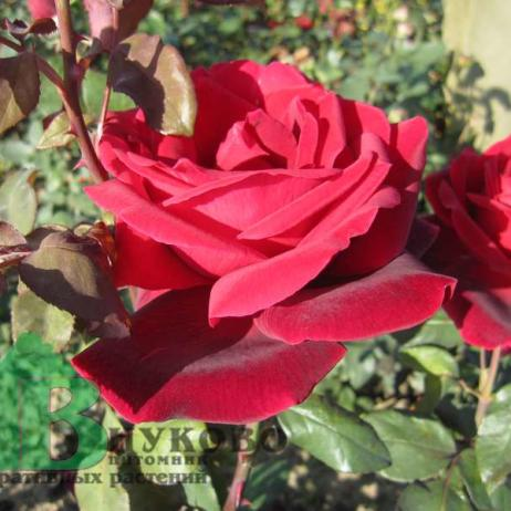 Роза мистер линкольн энциклопедия роз