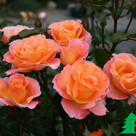 самая красивая роза отзывы общество