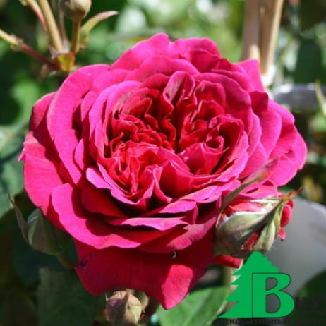"""Роза """"Вильям Шекспир"""" (Rose William Szekspir) - Розы Английские (Каталог Английских роз)- Розы - Каталог - Pitomnic.com"""