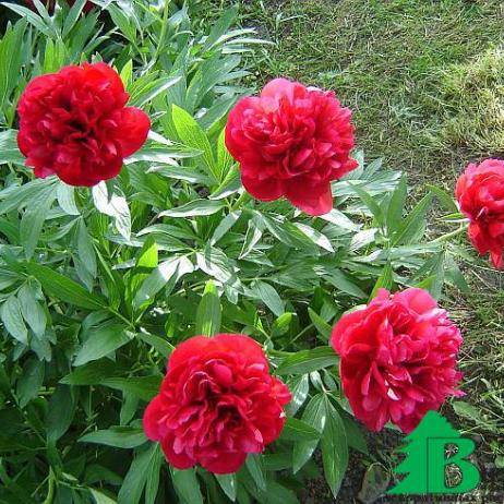 "Пион ""Рубра Плена"" (Paeonia officinalis Rubra Plena)"