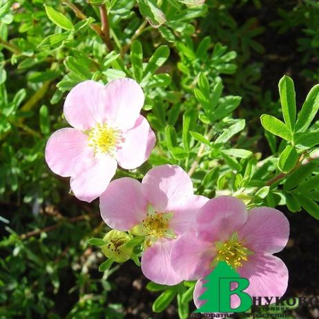 "Лапчатка кустарниковая ""Принцесс"" (""Пинк Куин"") - Potentilla fruticosa Princess ('Pink  Queen)"