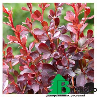 "Барбарис Тунберга ""Atropurpurea Darts Purple"" (Berberis thunbergii Atrop. Darts Purple)"