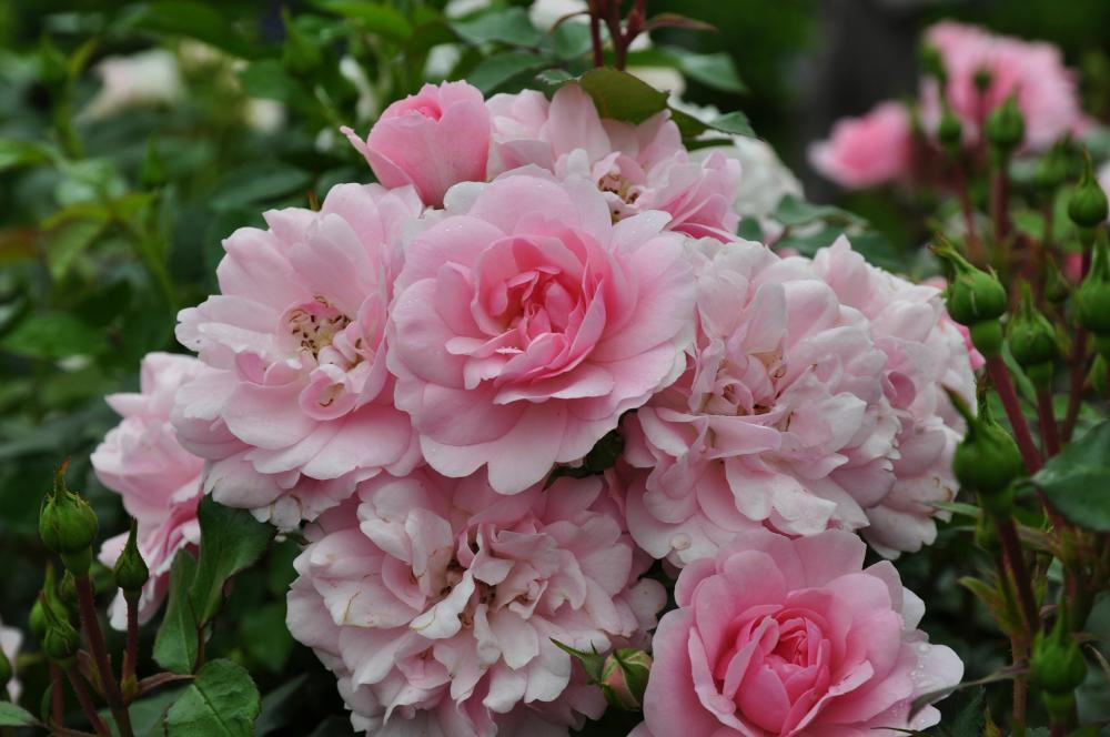 боника 82 роза фото