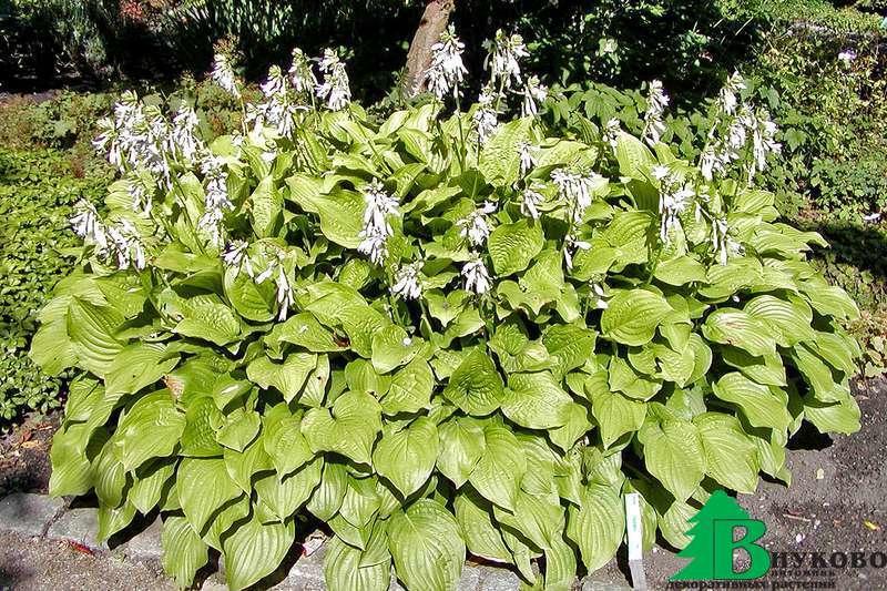 Многолетние цветы хосты