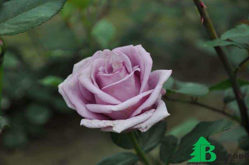плетистая роза индиголетта