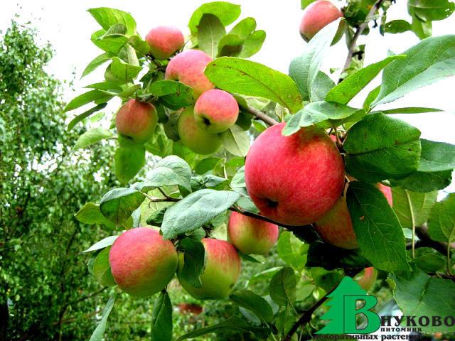 яблоня веньяминовское фото