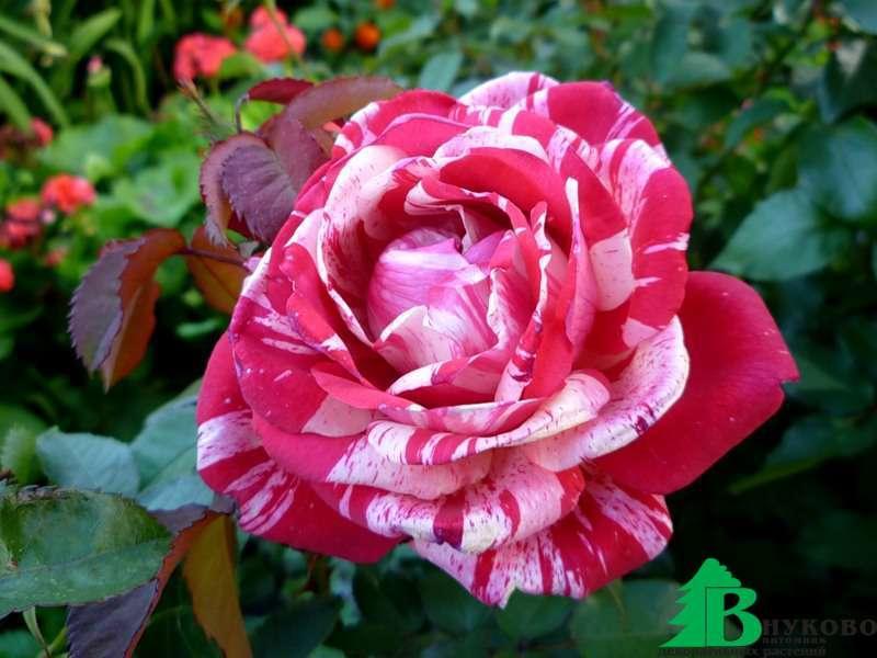 Роза папагено фото и описание