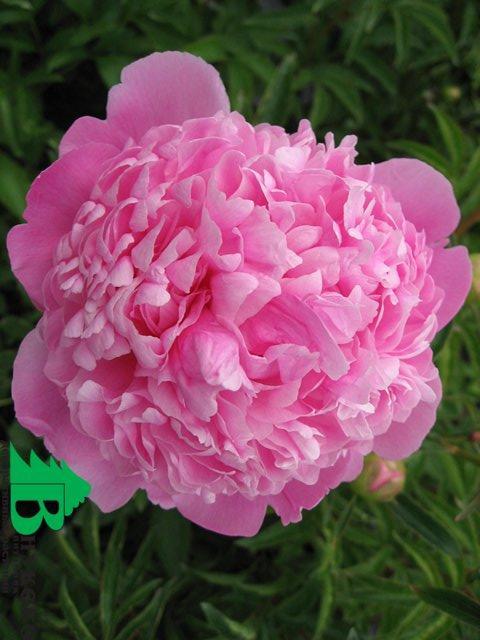 5 июн 2014. Вот и у меня в саду распускаются пионы… ну разве здесь нужны слова?. Просто полюбуйтесь вместе со мной этой красотой.