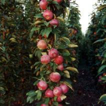 Яблуня ветеран опис фото відгуки