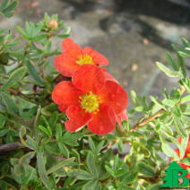 "Лапчатка кустарниковая ""Ред Айс"" (Potentilla Fruticosa Red Ice)"