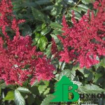 "Астильба Арендса ""Аугуст Лигхт"" (Astilbe arendsii August Light)"