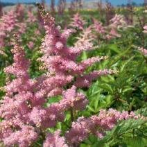 "Астильба Арендса ""Брессингем Бьюти"" (Astilbe arendsii Bressingham Beauty)"