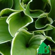 "Хоста гибридная ""Регал Сплендор"" (Hosta hybrida Regal Splendour)"