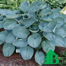"Хоста гибридная ""Биг Дадди"" (Hosta hybrida Big Daddy)"