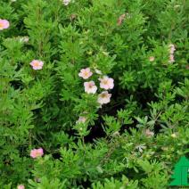 "Лапчатка кустарниковая ""Пинк Бьюти""(""Лавли Пинк"") (Potentilla fruticosa 'Pink Beauty' ® (P.f. 'Lovely Pink'))"