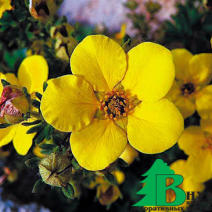 "Лапчатка кустарниковая ""Елоу Бирд"" (Potentilla fruticosa Yellow Bird)"