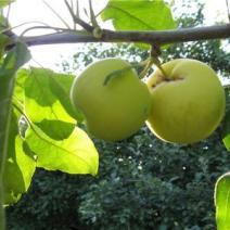"""Яблоня  """"Китайка золотая ранняя"""""""