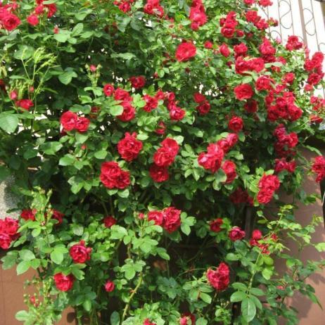 Фламентанц плетистая роза фото