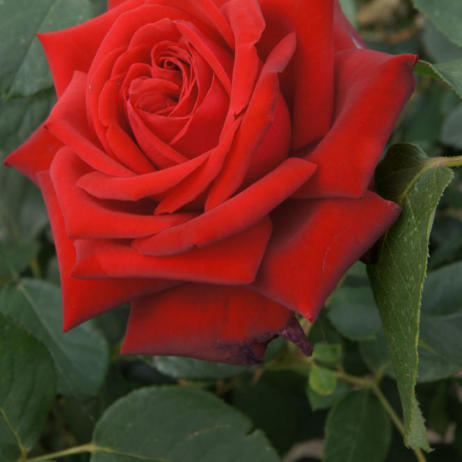 Rose Pride of England
