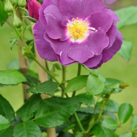 rosa rhapsody in blue