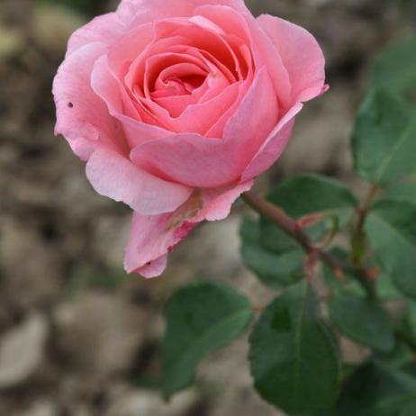 Rose Queen Elizabeth